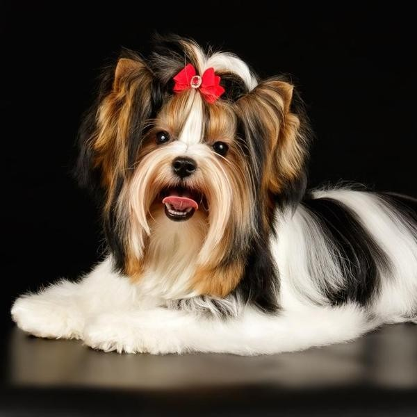 Meet the Newest Recognized Dog Breed: the Biewer Terrier