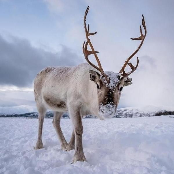 35 Fascinating Reindeer Facts That May Even Surprise Santa