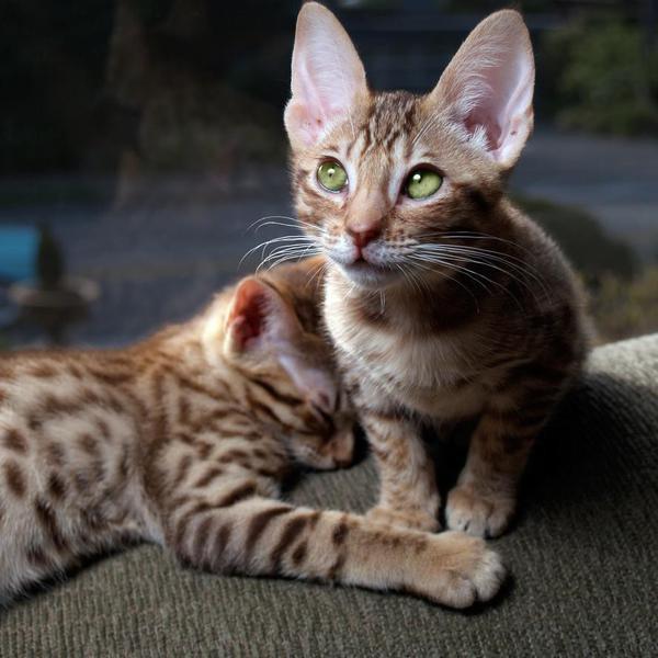 Longest-Living Cat Breeds