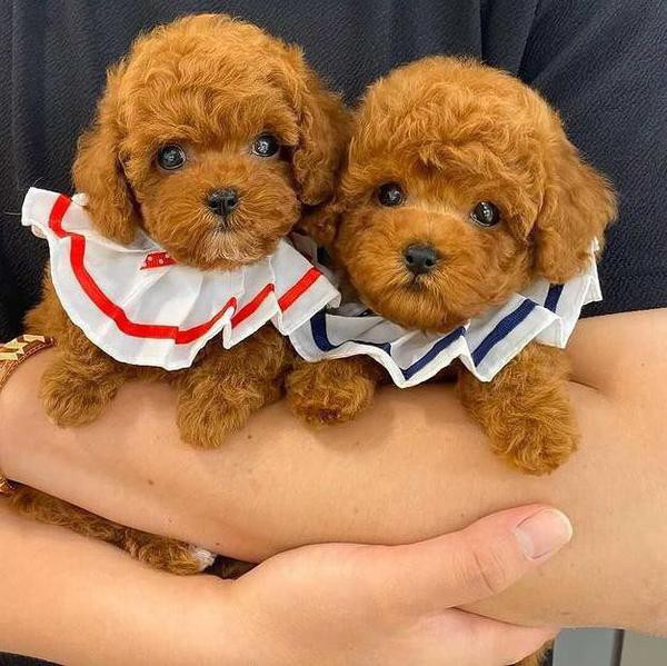 25 Reasons Why Toy Poodles Are the Best