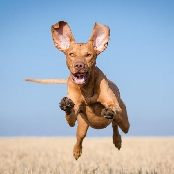25 Fastest Dog Breeds on Earth