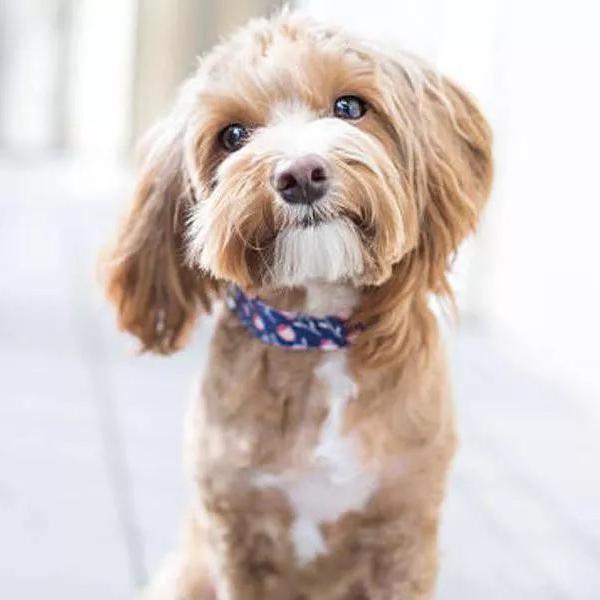 50 Best Dog Breeds for Seniors