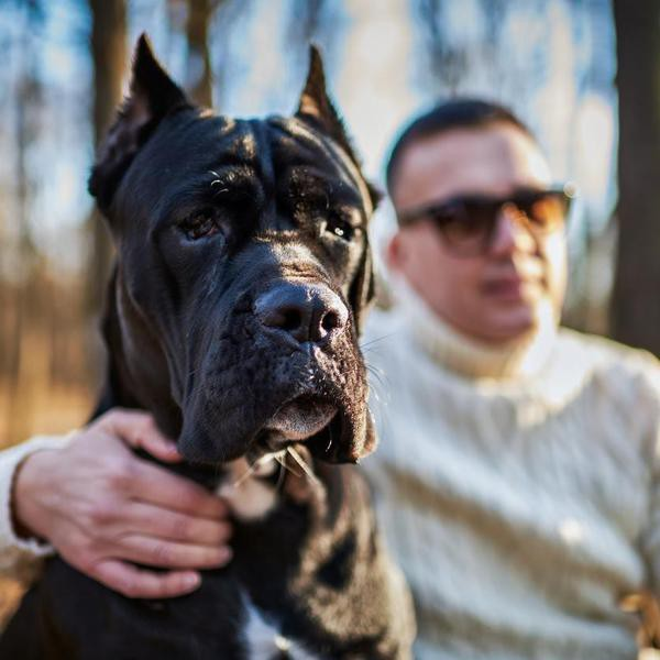 Close up shot of Cane Corso dog in the park. His owner is defocused in the background.