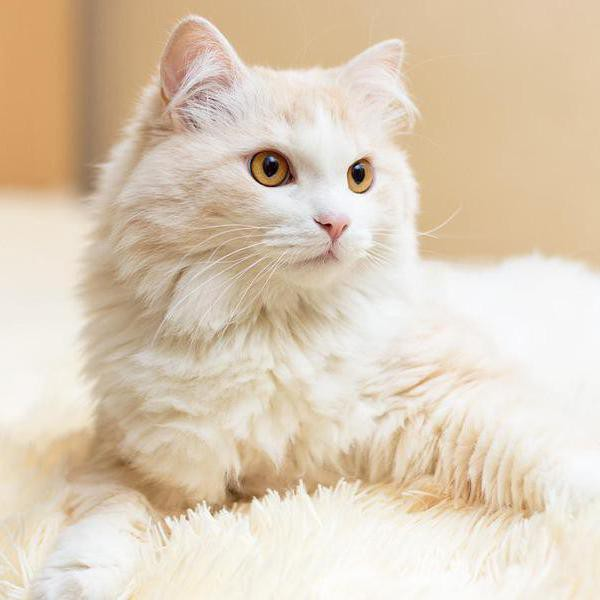 25 Cat Breeds That Are More Fluff Than Tough