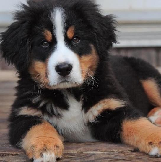 35 Dog Breeds That Are More Fluff Than Tough