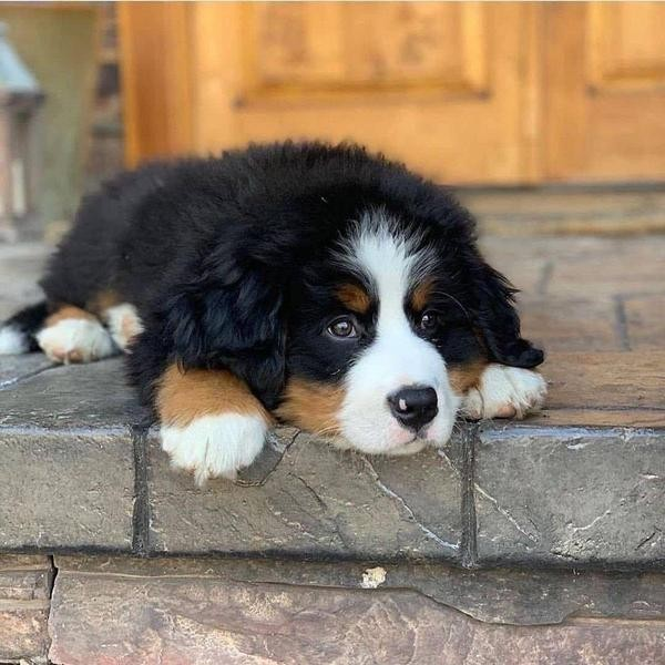 Biggest Dog Breeds as Adorable Puppies