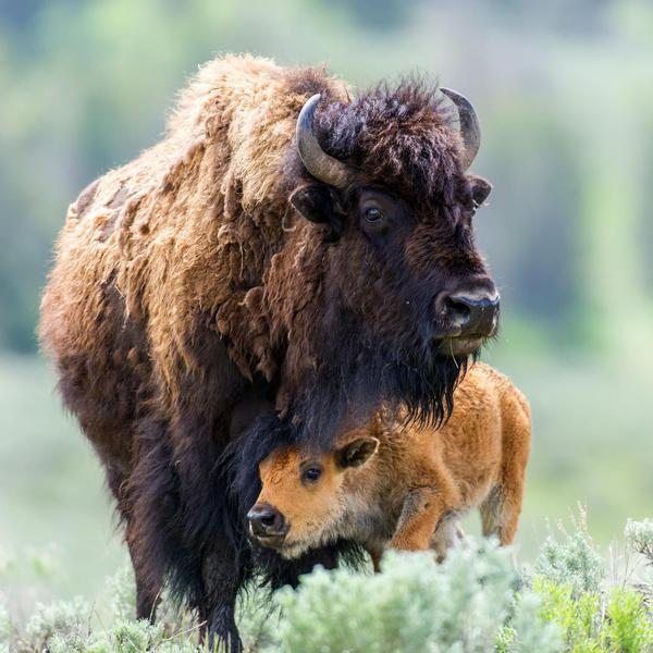 Incredible Animals to See in America's National Parks