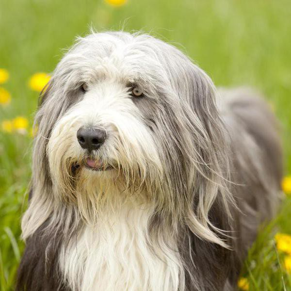 20 Shaggy Dog Breeds With Some Seriously Big Hair