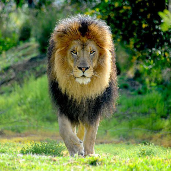 35 Fascinating Facts About Lions