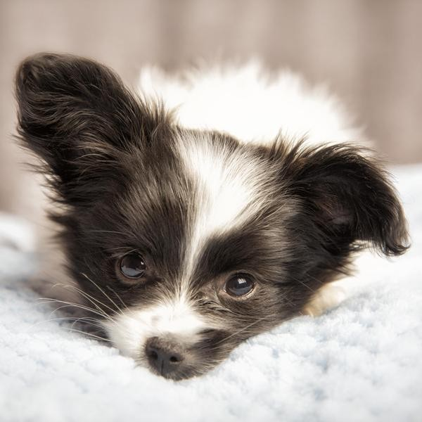 Adorable Dog Breeds That Always Look Like Puppies