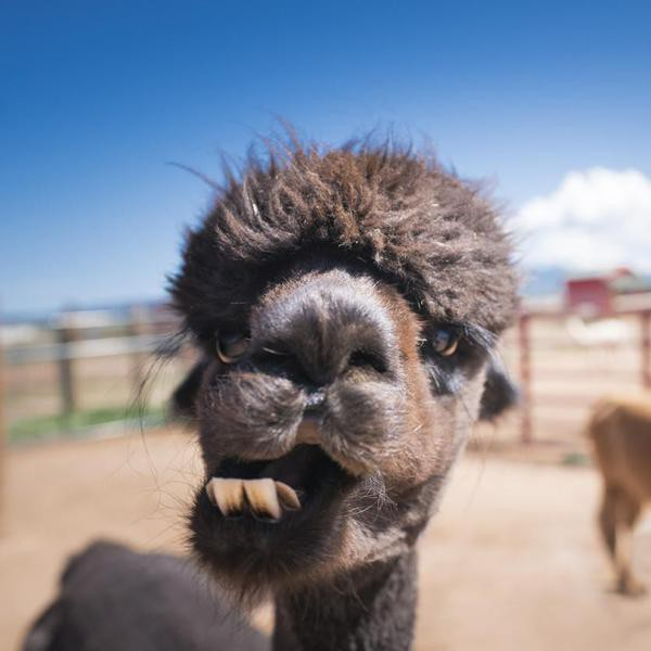 Black alpaca with curly hair chewing with sideways jaw and large lower incisor teeth showing at a farm outdoors on a summer day, Colorado