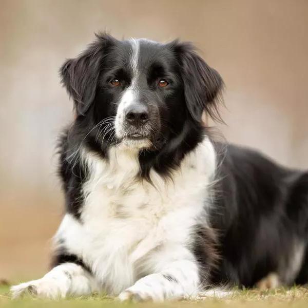 Smartest Dog Breeds, Ranked