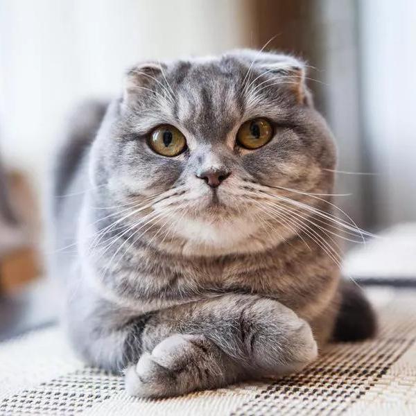 25 Cutest Cat Breeds, Ranked
