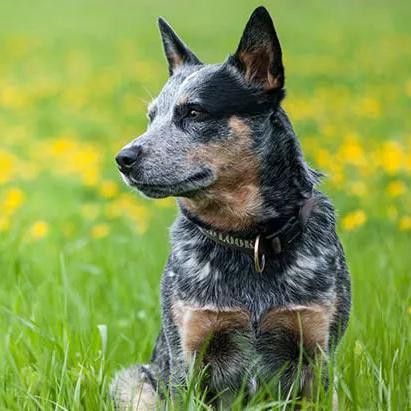 Is Your Dog One of the Most Intelligent Breeds in the World?