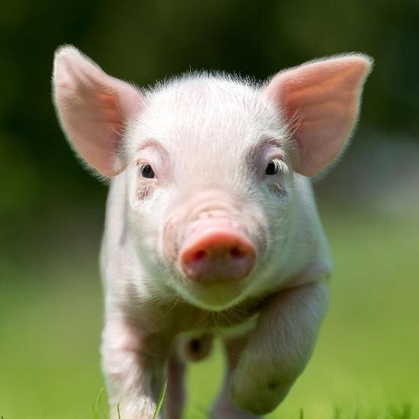19 Ways Pigs Are Smarter Than Your Average Human