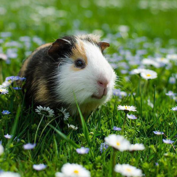 30 of Your Most Pining Guinea Pig Questions, Answered