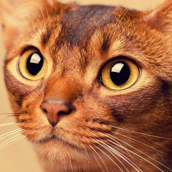 The Most Intelligent Cat Breeds Revealed