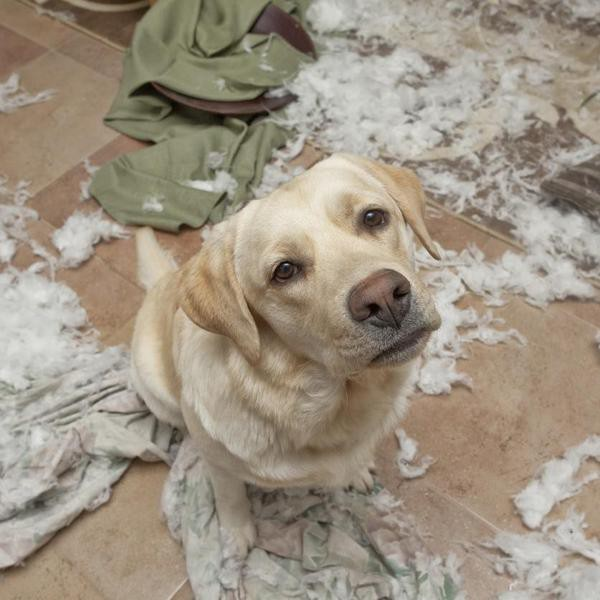 A yellow lab puppy has destroyed a living room.