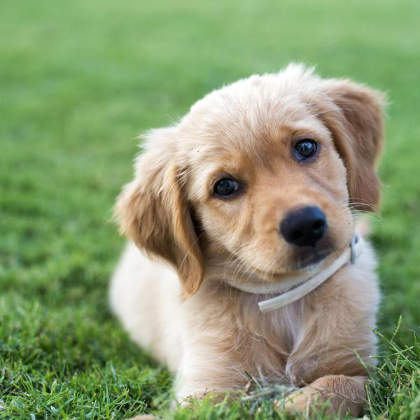 Goldens Are Simply Awesome