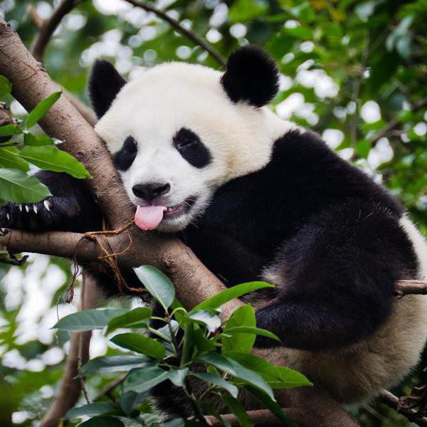 25 Panda Bear Facts That Will Make You Love Them