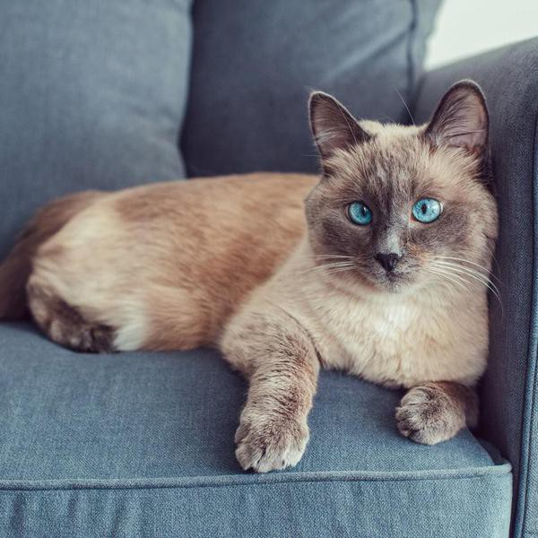 14 Hypoallergenic Cat Breeds for Those With Allergies