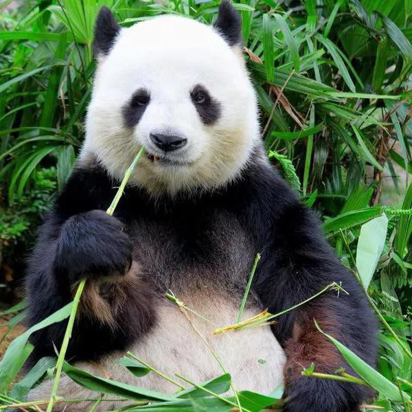 25 Facts About Cute Pandas You Won't Believe