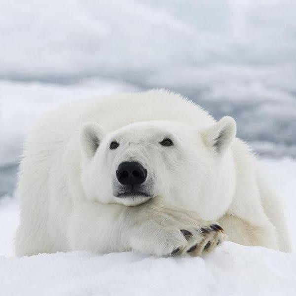All Your Polar Bear Questions, Answered